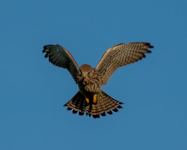 tammy mellor | kestrel on the hunt
