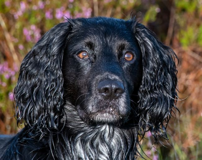 tammy mellor | Alfie the cocker spaniel