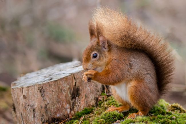 Paul Wiles | Red Squirrel