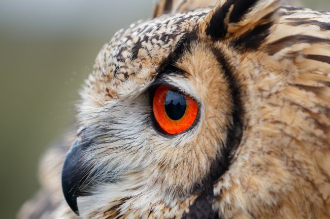 Paul Wiles | Bengal Eagle Owl