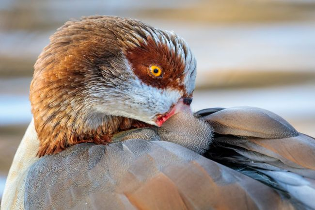 Paul Wiles | Egyptian Goose