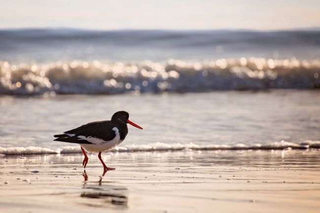 Jennifer Franklin | Oyster Catcher taking a stroll