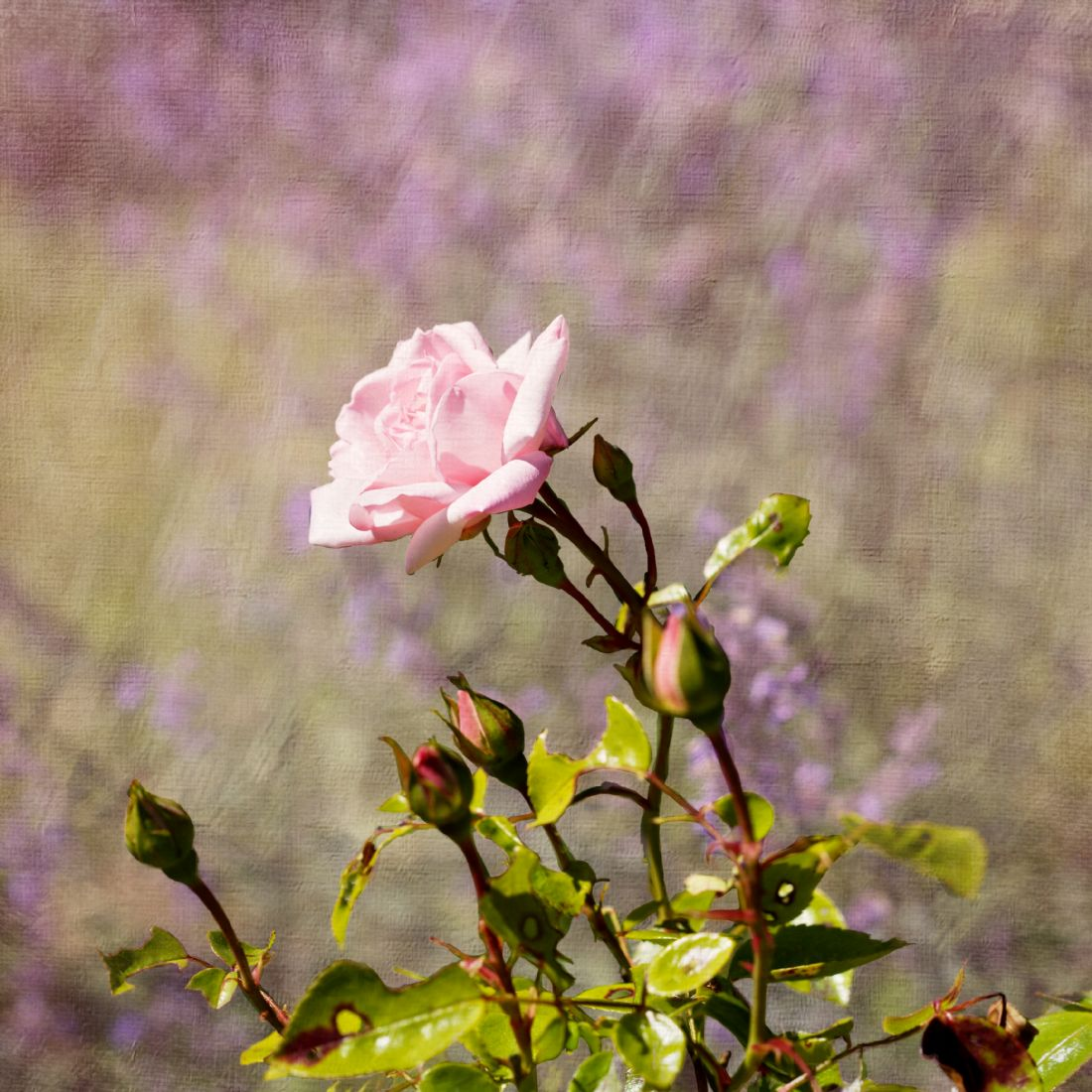 Liz Alderdice | Pink roses and Catmint