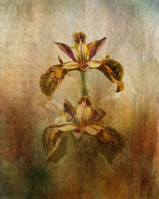 Liz Alderdice | Painted Iris