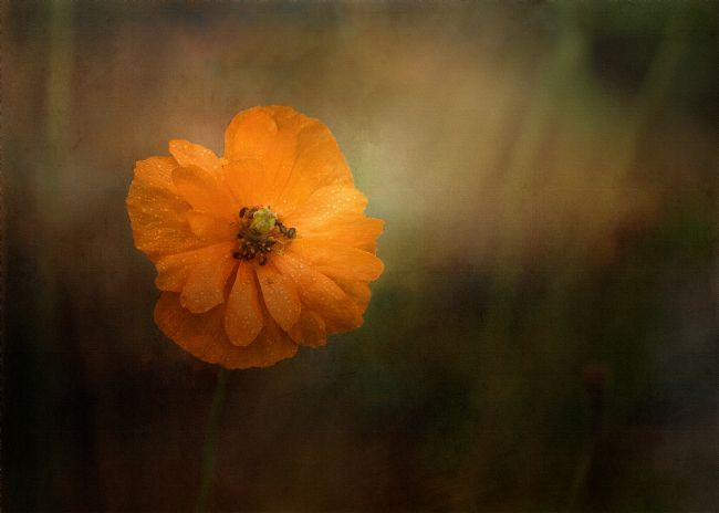 Liz Alderdice | Orange Poppy  and Pollen Beetles