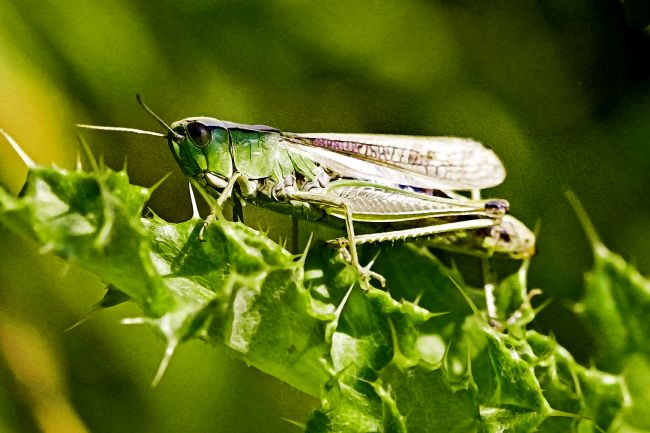 Liz Alderdice | Green Grasshopper