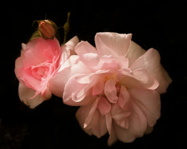 Liz Alderdice | Pink Roses at Dusk