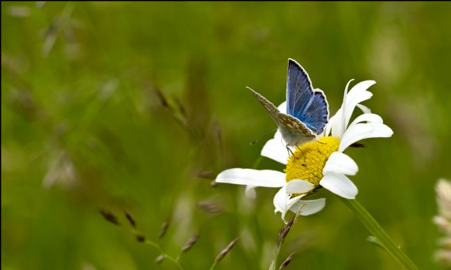 Liz Alderdice | Common Blue Butterfly