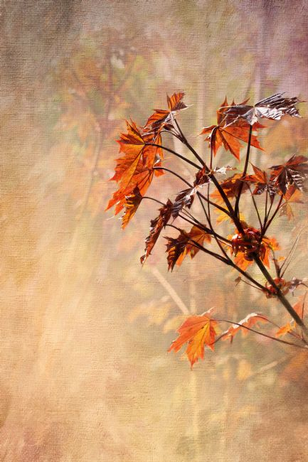 Liz Alderdice | Acer Leaves
