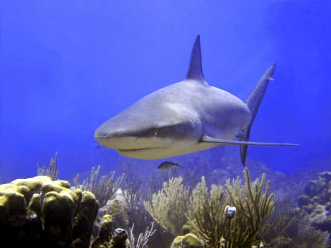 Serena Bowles | Caribbean Reef Shark Swimming Into Shot