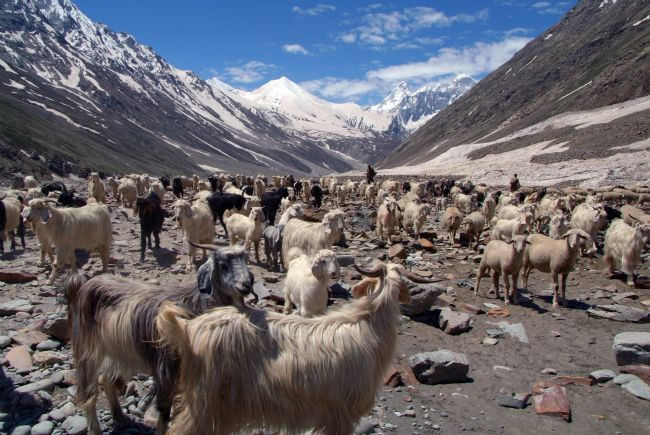 Serena Bowles | Sheep and Goats in Lahaul Valley, Spiti, Himalayas, India