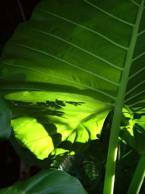 Serena Bowles | Shadows on a Back-lit Green Tropical Leaf, Laos
