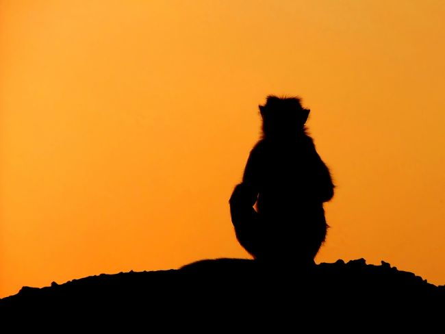 Serena Bowles | Sunset Silhouette of Macaque Monkey, Badami, Karnataka, India