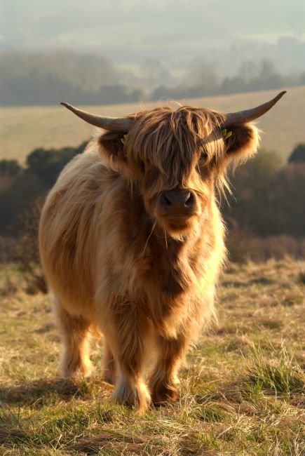 Serena Bowles | Young Highland Cow