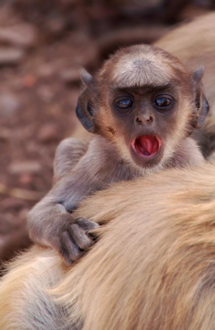 Serena Bowles | Baby Langur Monkey Ranthambore Fort, India