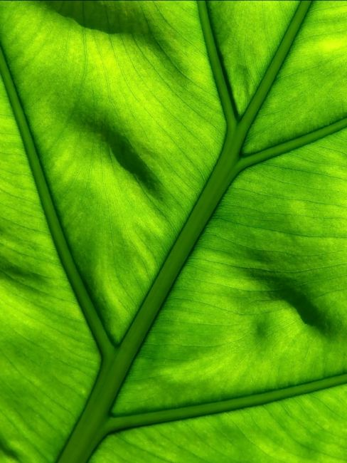 Serena Bowles | Nature's Work - Light Shining Through Green Leaf