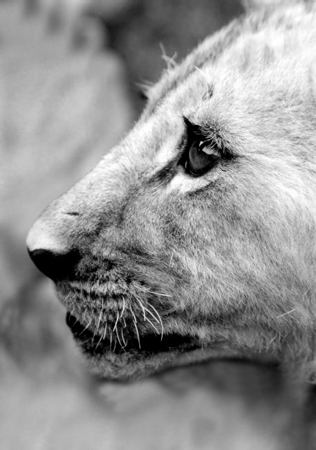 Serena Bowles | Proud Profile of a Lion Cub, Antelope Park, Zimbabwe, Africa