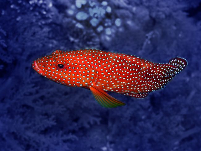 Serena Bowles | Red Coral Cod Fish over Hard Coral