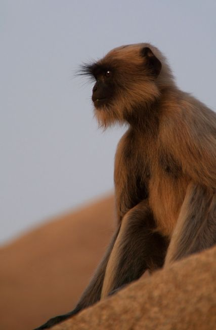 Serena Bowles | Langur Monkey in Quiet Contemplation, Hampi, India
