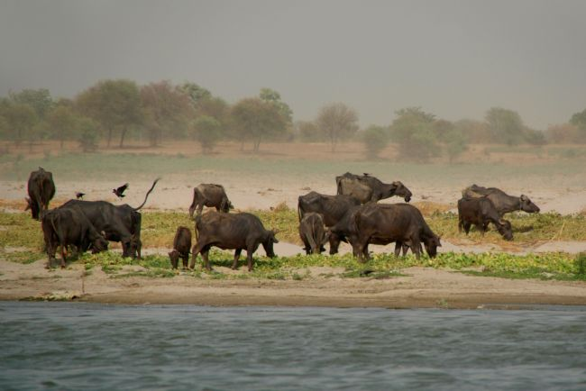 Serena Bowles | Water Buffalo on the Banks of the Ganges, Varanasi, India