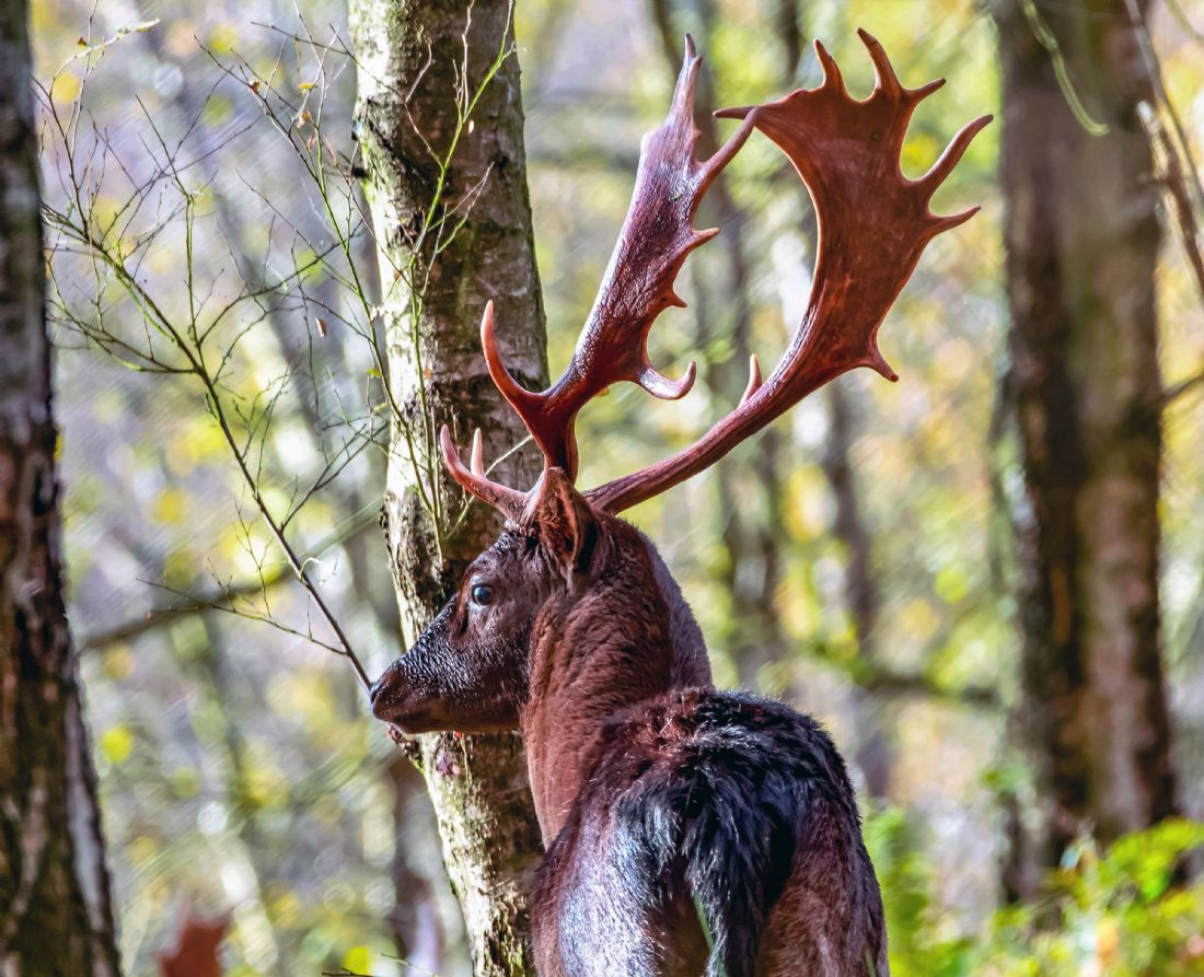Garry Downs | cannock chase stag
