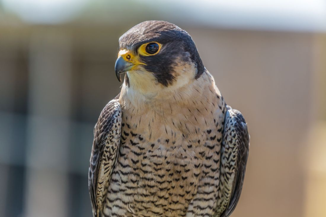 Garry Downs | peregrine falcon