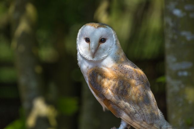 Garry Downs | barn owl