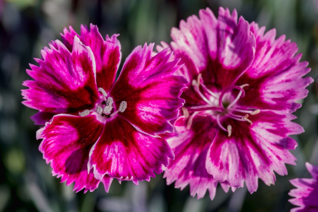 Peter Hemington | Pink Carnations