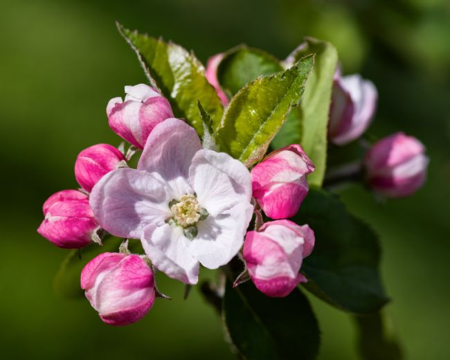 Pete Hemington | Apple blossom