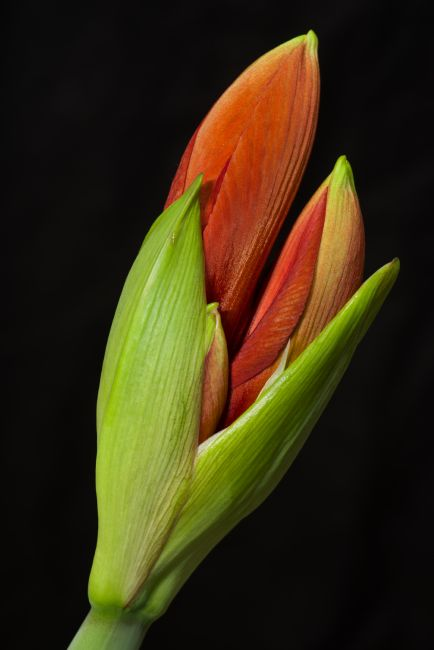 Peter Hemington | Amaryllis Bud