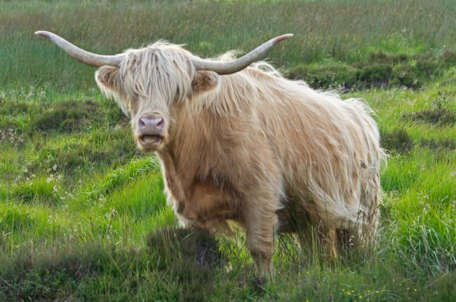 Peter Hemington | Highland cow