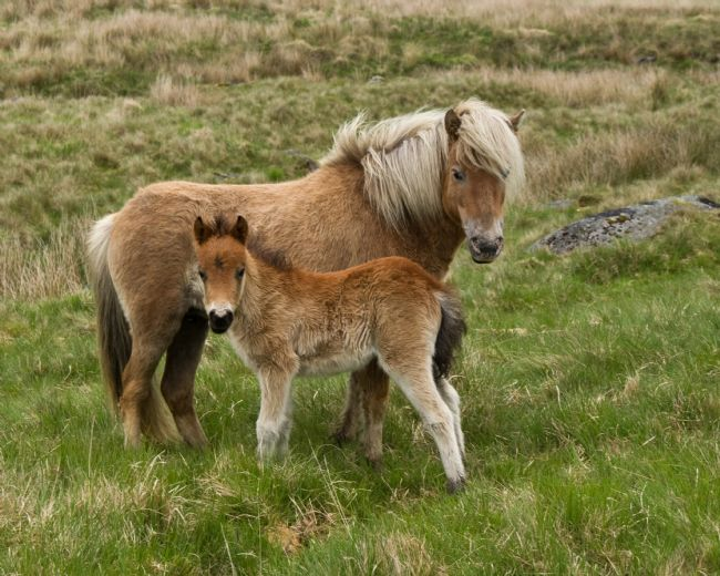 Peter Hemington | Dartmoor ponies