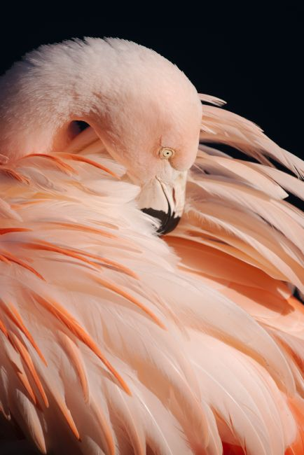 Rawshutterbug  | Portrait Of A Flamingo