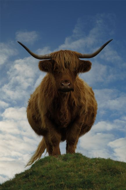 rawshutterbug  | Highland Cow On A Hill