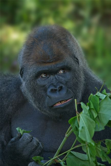 rawshutterbug  | Silverback Got His Eye One Some More Leaves