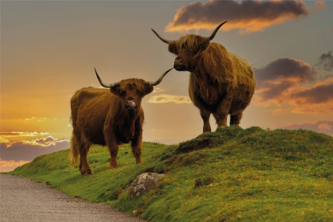 rawshutterbug  | Highland Cows At Sunset
