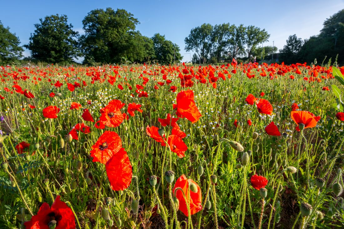 Stephen Mole | Red Poppies in Norfolk