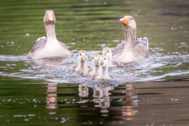 Stephen Mole | Greylag Geese and chicks