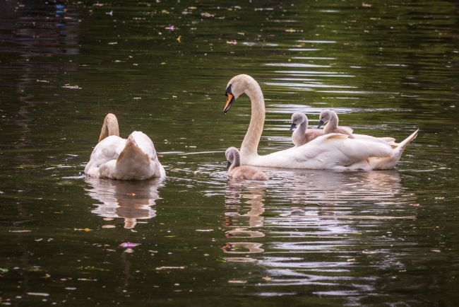 Stephen Mole | Swans and Cygnets