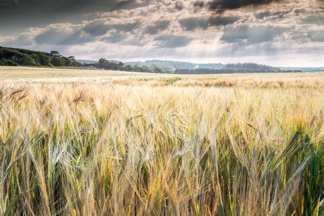 Stephen Mole | Barley at Weybourne
