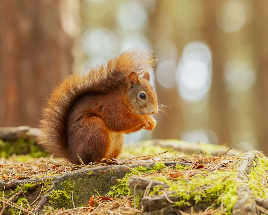 John Thirkell | Formby red squirrel