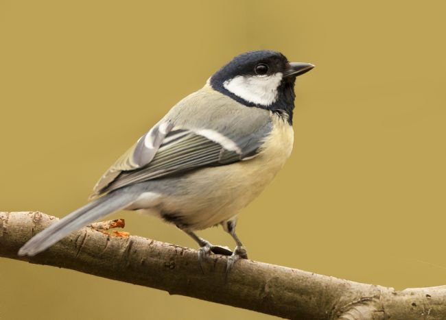 John Thirkell | Coal Tit In The Sun