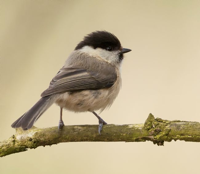 John Thirkell | Willow Tit