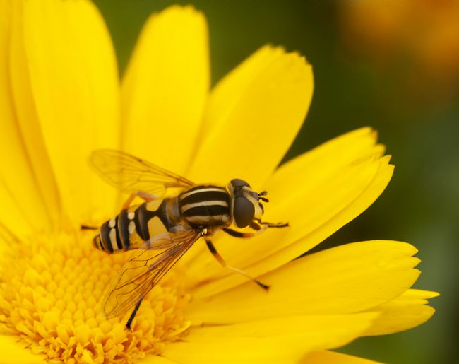 John Thirkell | Resting Hoverfly