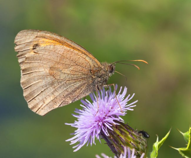John Thirkell | Meadow brown buterfly
