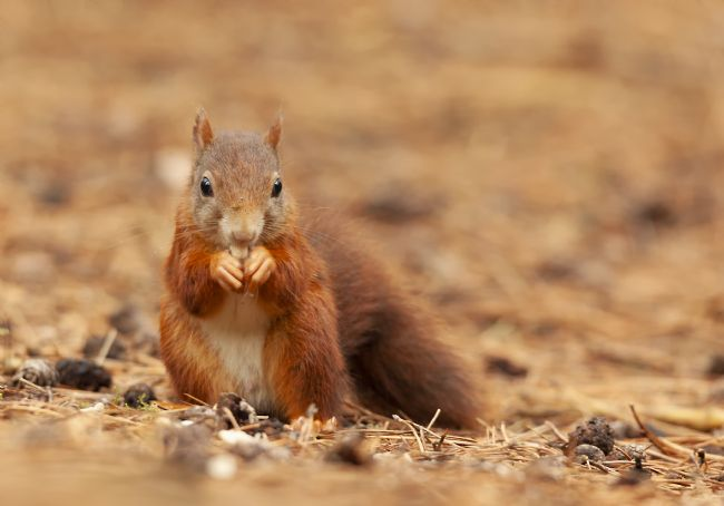 John Thirkell | Red squirrel at Formby