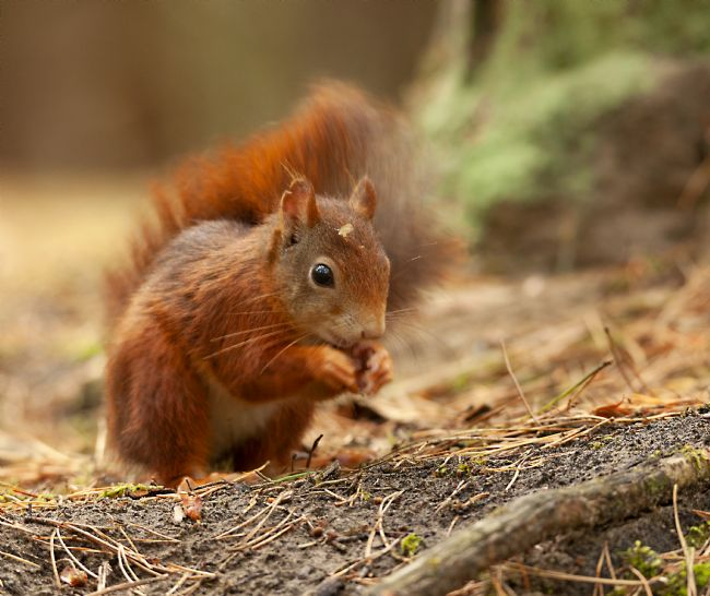 John Thirkell | Red Squirrel