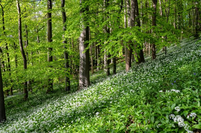 Richard Burdon | Wild Garlic Wood