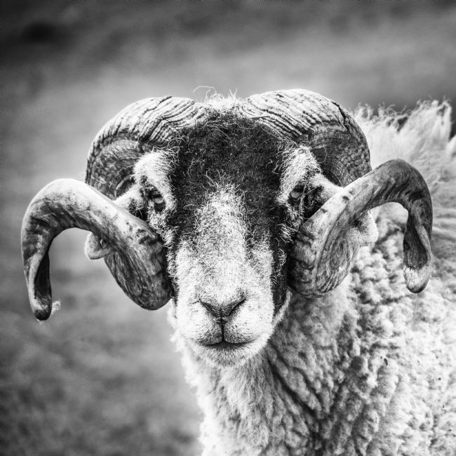 Richard Burdon | Swaledale Tup