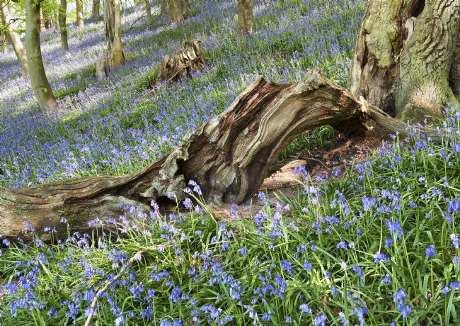 Richard Burdon | Bransdale Bluebells
